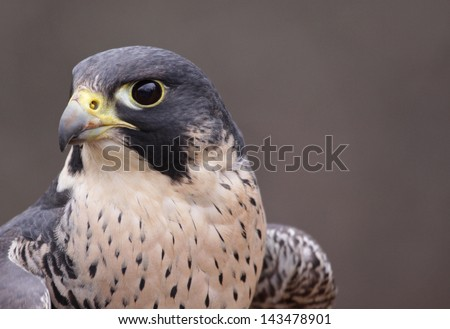 An extreme close-up of the face of a Peregrine Falcon (Falco peregrinus).  These birds are the fastest animals in the world.  - stock photo