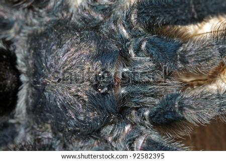 An extreme closeup of a Pinktoe Tarantula (Avicularia sp.) in the Peruvian Amazon - stock photo