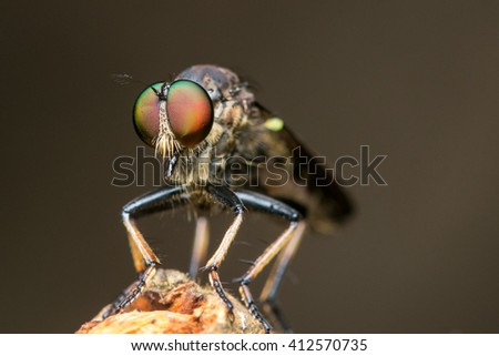 An extreme macro shot of a robber fly , Close up of robber fly (Asilidae) or assassin fly waiting in ambush for its prey , Asilidae, robber fly - stock photo