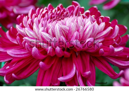 An extremely large chrysanthemum with purple colored. - stock photo