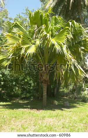An extremely rare, young  male coco-de-mer (Lodoicea maldivica) coconut palm on Fregate. Found naturally only on its indigenous Praslin Island, Seychelles, a handful are on Fregate and Curieuse. It has the largest leaf, heaviest fruit, longest catkin