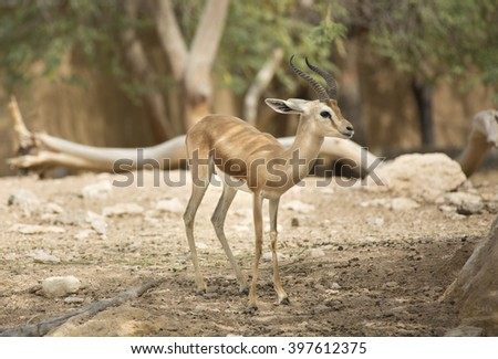 An extremely shy wild female Dorcas Gazelle (Gazelle dorcas) or Ariel Gazelle in  rock desert and sand dunes - stock photo