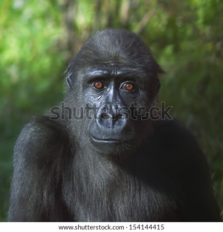 An eye to eye portrait of a young gorilla male on green background. The little great ape is going to be the most mighty and biggest monkey of the primate world. Wild beauty of the nature. - stock photo