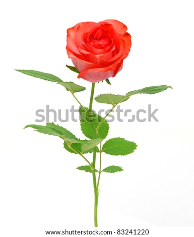 An finest rose on gift - stock photo
