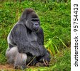 An HDR image of a male silver back gorilla sitting holding a piece of bamboo - stock photo