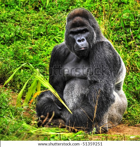 An HDR image of a male silver back gorilla sitting holding a piece of vegetation - stock photo
