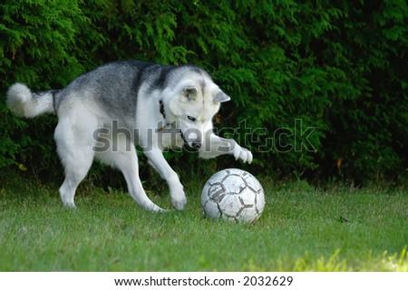 An husky dog playing soccer - stock photo
