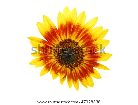 an hybrid sunflower isolated