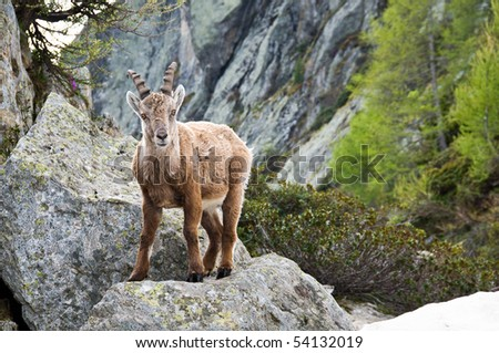 an ibex in the mountain