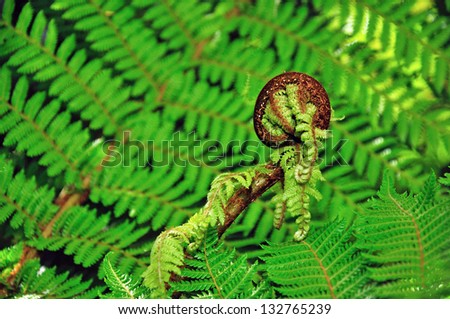 An iconic New Zealand koru. Koru is the Maori word for the spiral shape of a new unfurling giant silver fern frond, symbolizing new life, growth, strength and peace. - stock photo