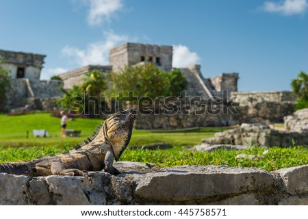 An iguana basks in the sunlight on the ancient ruins of Tulum, Mexico.