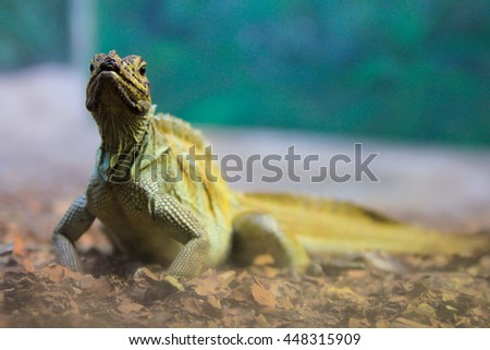An iguana, head holding up, Focus on the eyes, shooting through stained glass at the zoo, New South Wales, Australia