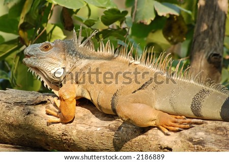 An iguana lizard sunbathing on a branch