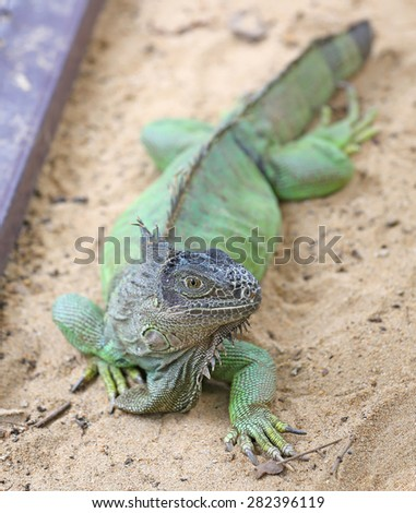 An Iguana poses for its portrait focus at eye  - stock photo