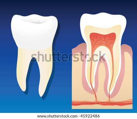 An illustration showing a complete healthy tooth with a cross section - stock photo