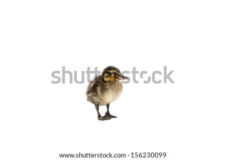 an image of a baby duck on white - stock photo