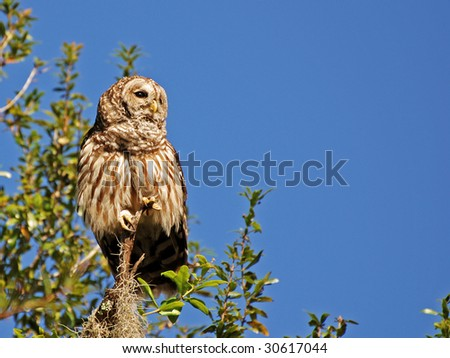 An image of a barred owl - stock photo