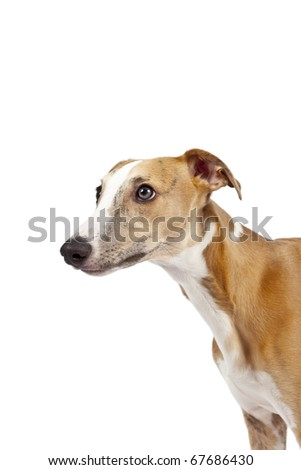 An image of a beautiful whippet dog on white background