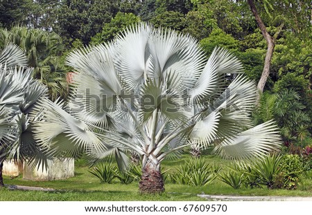 An image of a big Silver Saw Palmetto palm tree in a green park. - stock photo