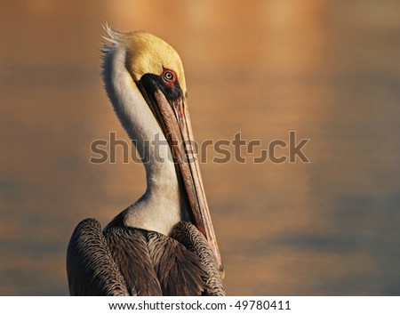 An image of a brown pelican - stock photo