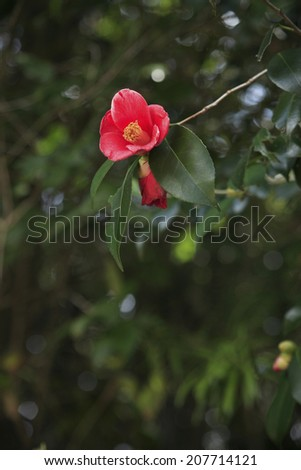 An image of A Camellia Tree - stock photo