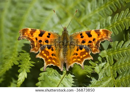 an image of a comma butterfly sat resting on fern leaves. point of focus on the head and forewings. - stock photo
