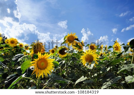 An image of a field of yellow sunflowers - stock photo