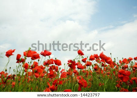 An image of a field with red poppies under blue sky
