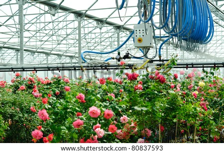 An image of a greenhouse with roses in it - stock photo