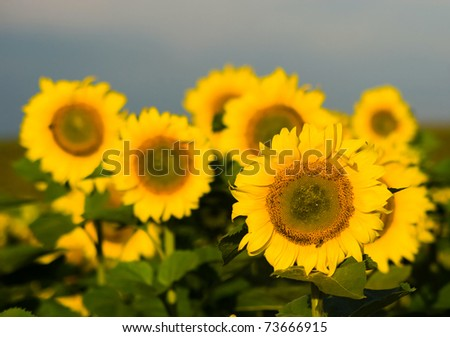 An image of a group of orange sunflowers