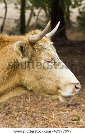 an image of a highland cow portrait. - stock photo
