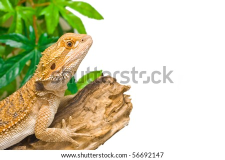 an image of a juvenile  male citrus x sandfire bearded dragon (Pogona vitticeps)