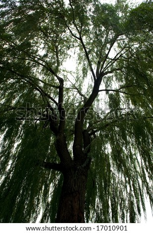 An image of a large willow tree cascading down - stock photo