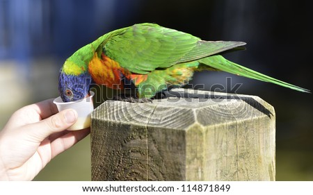 An image of a Lorikeet - stock photo