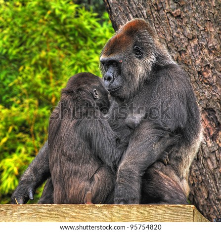 An image of a mother and baby gorilla looking tenderly into eack others eyes - stock photo