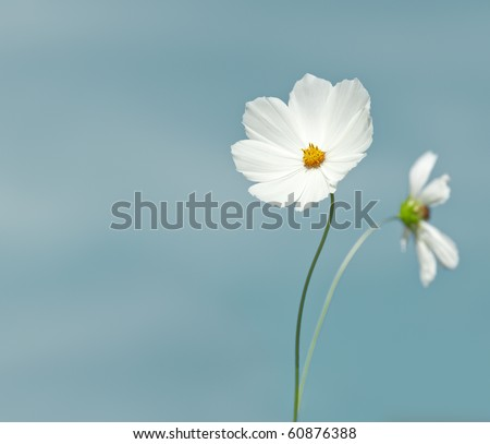 An image of a nice cosmea with space for text - stock photo