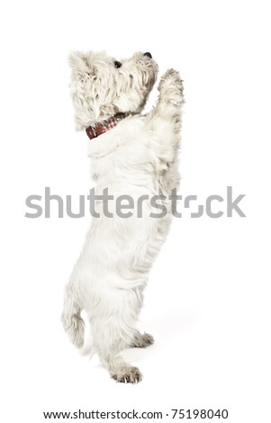 An image of a nice white Terrier - stock photo