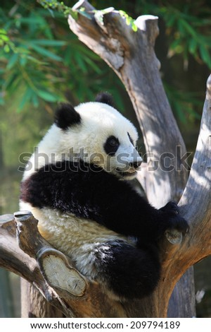 An Image of A Panda