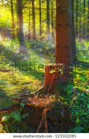 An image of a Pine forest at sunrise - stock photo
