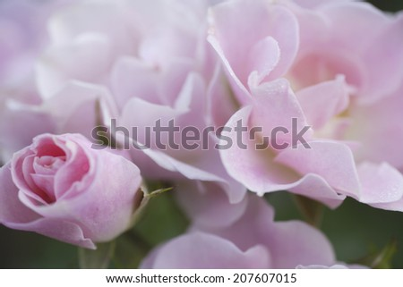 An image of A Pink Rose