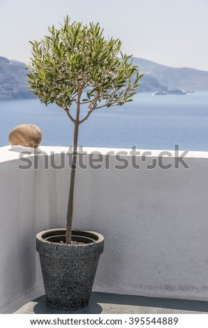 An image of a potted olive tree on a terrace at Oia overlooking Santorinis caldera with the villages of imerovigli and Fira in the distance. - stock photo