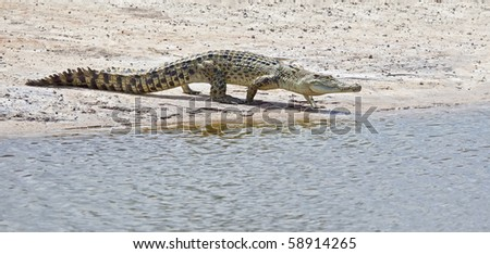An image of a salt water crocodile in Australia
