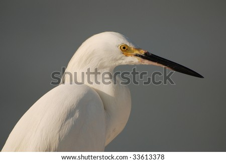 An image of a snowy egret against a blurred background