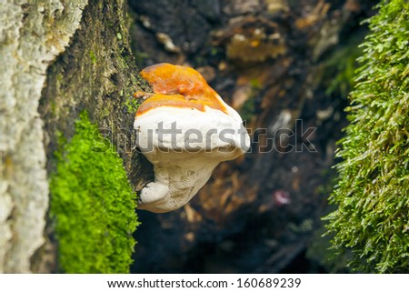 An image of a very nice Tree Mushroom - stock photo