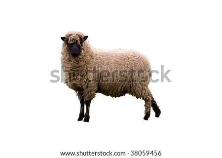 an image of an isolated Cambridge dark face breed of sheep looking towards you. - stock photo