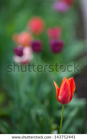 An image of beautiful spring tulips outdoors