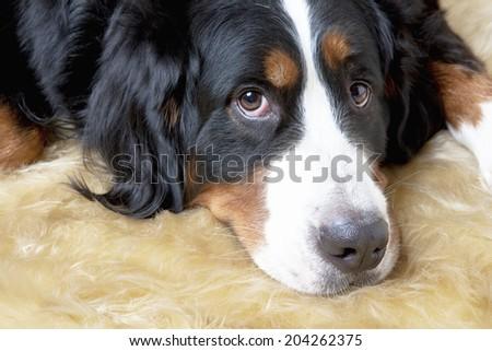 An Image of Bernese Mountain Dog - stock photo