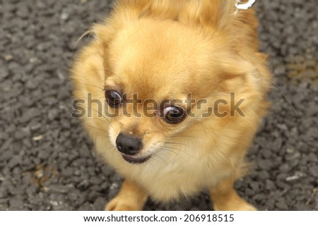 An Image of Chihuahua