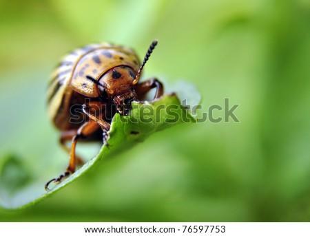 an image of Colorado beetle on potato leaf - stock photo