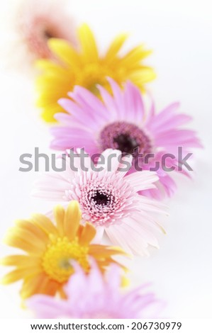 An Image of Colorful Gerbera